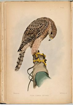 Young hawk on the gloved hand of a falconer (1873, watercolor), F.H. Salvin,Falconry in the British Isles.