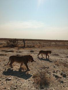 Namibian series Panther, Kangaroo, Pictures, Animals, Baby Bjorn, Photos, Animales, Animaux, Panthers