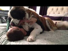 Sully the Saint Bernard dog really loves his dad! Watch as he pins him down and gives him a big hug after returning home from a long day of work.