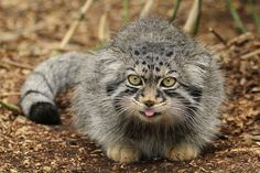 Otocolobus manul - Pallas's Cat (My tongue. Felis Manul, Manul Cat, Serval Cats, Small Wild Cats, Big Cats, Cats And Kittens, Animals And Pets, Baby Animals, Cute Animals