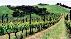 There are more than two dozen wineries on Waiheke Island, a little gem just off the coast of Auckland, New Zealand.