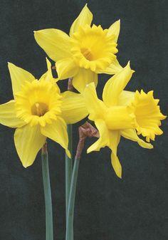 De Ree Branded Dwarf Daffodil Botanical Mixed Spring Flowering Bulbs