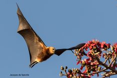 Mauritian Megabat Flying-foxes Fruit bat Mauritius http://www.batsrule.info/2017/01/mauritian-megabat-flying-foxes-fruit.html http://www.mauritian-wildlife.org/application/index.php?tpid=30&tcid=81