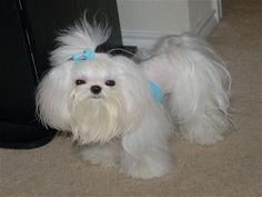 How to groom and trim Maltese Dog Haircuts Styles Pictures long and short. In summer or winter these hairstyles of Maltese always suitable according to nature. Little Puppies, Cute Puppies, Cute Dogs, Havanese Puppies, Maltese Dogs, Teacup Maltese, Yorkies, Maltipoo, Maltese Haircut