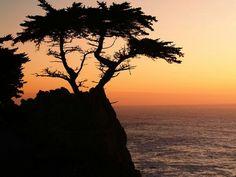 Popular tree on Monterey Peninsula along the PCH.