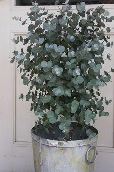 For the terrace - garden plants- Eukalyptus. For the terrace – garden plants, - Terrace Garden, Indoor Garden, Easy Garden, Green Plants, Potted Plants, Plants In Pots, Outdoor Plants, Outdoor Gardens, Plants Indoor
