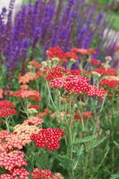 PURPLE AND RED;  Yarrow and Salvia. contemporary landscape by Jocelyn H. Chilvers
