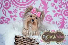 Love Teacup Yorkies