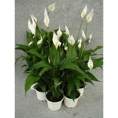 130mm Spathiphyllum Chico Peace Lily I/N 3615383 | Bunnings Warehouse - $10.42