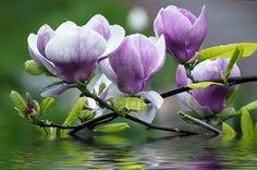 Beautiful magnolia flowers Stock Photo