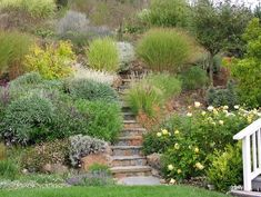 A steep hillside is turned into a lush landscape using salvias, ornamental grasses, pomegranates and other easy care plants.