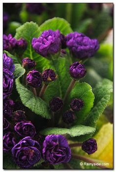 """double primrose """"Miss Indigo"""", perfect for the front of a shade garden. Grows only 6"""" tall, with evergreen foliage."""