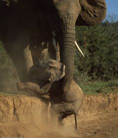 'A Helping Hand ~ should it say trunk '  Addo Elephant National Park, South Africa by Brit Mark Bowler