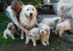 Switzerland. Pyrenean mountain dogs - shepherds assistants