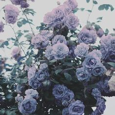 Truly beautiful bushel of lavender colored roses. I'd love to be lost in a forest of these