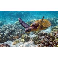 【umigasuki_h28】さんのInstagramをピンしています。 《#海 #島 #沖縄 #沖縄本島 #日本の海 #ダイビング #サンゴ礁 #海亀 #美しい海  #sea #island #okinawa  #seaofjapan #diving #coralreef #seaturtle  #beautifulsea 》