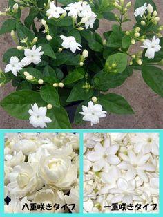 【数量限定・お得な香りのお花詰合せ】 ハワイアンレイフラワー 'ピカケ' バラ咲きタイプと一重咲きタイプの2鉢セット 5号鉢(開花株・3~4株植え)【楽天市場】