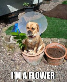 """Why am I sitting on the flower pot? What is the thing around my face?""  #dog #puppy #dog lovers"