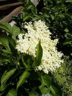 Health He is a jack-of-all-trades for pleasurable cooking and healing … Elderberry Season, Flowers Perennials, My Secret Garden, Green Life, Medicinal Plants, Herbal Medicine, Natural Wonders, Herb Garden, Healthy Tips