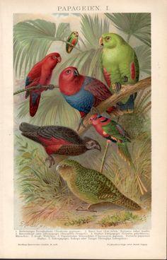 1898 Parrots Antique Print Vintage Lithograph Birds by Craftissimo
