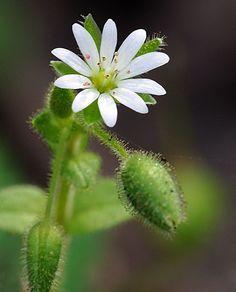 Τα οφέλη από τη Στελλάρια στην Υγεία Dandelion, Flowers, Plants, Dandelions, Plant, Taraxacum Officinale, Royal Icing Flowers, Flower, Florals