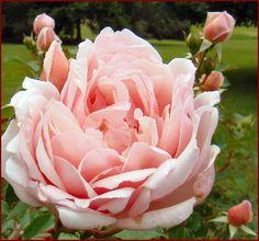 Albertine Rose Beautiful Roses, Pretty In Pink, Beautiful Flowers, Rose Foto, Perennial Flowering Plants, Language Of Flowers, Belleza Natural, Garden Inspiration, Gardens