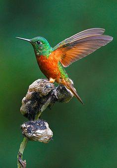 Chestnut-breasted Coronet (Boissonneaua matthewsii). A brightly colored hummingbird of Ecuador, Peru, and Colombia. photo: Gavin Emmons.