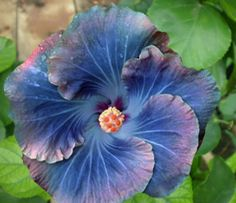 Rare Green Cv Hybrid Hibiscus Photo by hubushiku88 | Photobucket