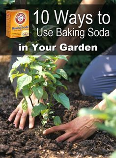 10 Ways to Use Baking Soda in Your Garden                                                                                                                                                                                 More