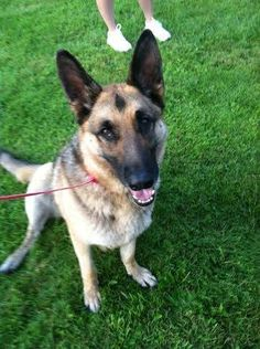 #Founddog 7-30-14 #Williamstown #VT #GermanShepherd Neutered male McCarthy Rd 802-433-5912 https://m.facebook.com/story.php?story_fbid=593684177415504&substory_index=0&id=198608766923049