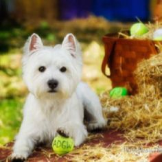 Perfect Westie haircut /groom.. I better keep this picture in hopes of someone can cut Sophie right one day