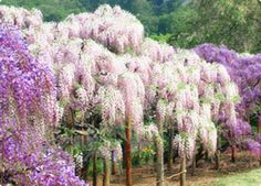 wisteria images   Places you must see : Wisteria Tunnel , Japan.   Global