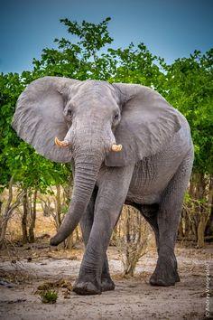 Elephant in Botswana beautiful animal Asian Elephant, Elephant Love, Elephant Art, Elephants Photos, Elephant Pictures, Animal Pictures, All About Elephants, Save The Elephants, Animals And Pets