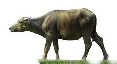 Kết quả hình ảnh cho buffalo