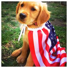 Happy 4th of July from this cute Golden Retriever puppy and his American flag! Be safe & have a great day. Congrats to @jonartner & thanks for posting!