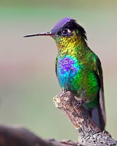 Fiery-throated hummingbird (Panterpe insignis) is a medium-sized hummingbird which breeds only in the mountains of Costa Rica and western Panama. Cute Birds, Pretty Birds, Beautiful Birds, Animals Beautiful, Exotic Birds, Colorful Birds, Vogel Gif, Hummingbird Pictures, Hummingbird Quotes
