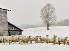 """""""Snow on Sheep"""" (Monterey in Highland County) Michael Bedwell Blue Ridge Parkway, Blue Ridge Mountains, Prince George County, North Garden, Chincoteague Island, Shenandoah National Park, Winter Sunset, Foggy Morning, Virginia Beach"""