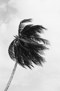 @hedviggen ⚓️ on pinterest    inspiries   black and white   photography   summer   palmtree    wind