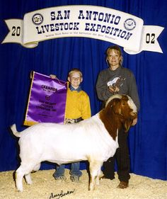 Powell-Holman Grand Champion Boer Goat Buck. Show Goats for sale.