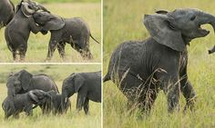 Amazing pictures show infant elephants wrestling with each other