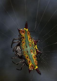 Rainbow spiny orb weaver (Gasteracantha westringi) spider at Holmes Jungles #Spiders