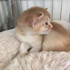 Abessijn kitten Neves <3