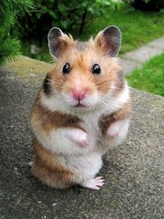 Oh he's just so cute! A little hamster! Uh! I can't get over it! I Love him!