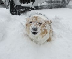 It's the Abominable SnowCorgi!