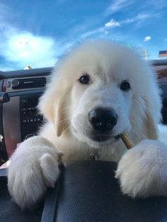 Great Pyrenees pup gets a treat to keep him happy and out of trouble for the ride in the car—it works with young children, so it's worth a try! Pyrenees Puppies, Great Pyrenees Puppy, Cute Puppies, Cute Dogs, Dogs And Puppies, Doggies, Dog Photos, Dog Pictures, Maremma Sheepdog