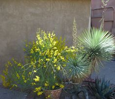 Spring in Old Town 2012 - Spanish Broom Brush & Yucca