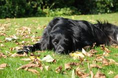 Grote Munsterlander Eppo in de herfst. Large Munsterlander Eppo in the autumn.