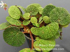 Begonia bullatifolia