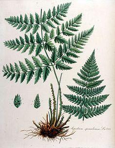 Aspidium spinulosum — Flora Batava — Volume v10.jpg