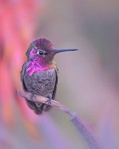 #hummingbird #hover #audobonsociety